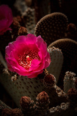Red Beavertail Cactus (http://fineartamerica.com/profiles/robert-bales.ht) Tags: pink flowers red arizona cactus people plants white foothills flower beautiful yellow cacti spectacular photo petals succulent flora desert rocky dry places mojave vegetation sensational beavertail states projects anzaborrego pricklypear botany prickly brilliant sonorandesert haybales blooming southwestusa opuntiabasilaris prickle glochids canonshooter forupload southeasterncalifornia robertbales coloradodeserts desertslopes spreadingcactus barbedbristles cactusphotgraphy