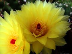Notocactus Ottonis (Paolo Bonassin) Tags: flowers cactus flower cactaceae succulente cactacee notocactusottonis