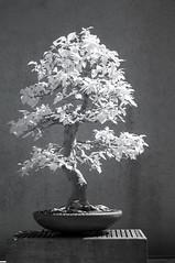 DSC_3921s (An Xiao) Tags: arboretum bonsai penjing