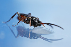 "Small Ichneumon wasp in the ""studio"" #2 (Lord V) Tags: macro bug insect wasp ichneumon"