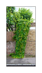 Overgrowth, South East London, England. (Joseph O'Malley64) Tags: wet leaves tarmac wall fence moss suburban pavement growth greenery fencing suburb walls creeper pointing overgrowth damp brickwork mountainashtree granitekerbing