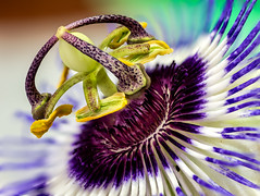 From close ... the passion flower ! (AnouarDZ) Tags: light flower motif fleur colors beauty closeup plante garden botanical photography purple blossom fine olympus stamens stems passion bloom passiflora passionflower omd spores em1 incarnata pollens lapassiflore