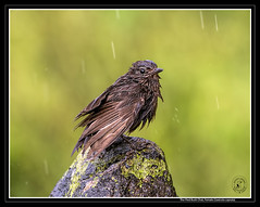 Monsoon Magic - Drenched Look (AntoGros) Tags: life india bird nature wet birds female lens bush chat indian sony birding pied sal sonycamera drenched nilgiris nilgiri saxicola indianbirds piedbushchat saxicolacaprata sonydslr caprata sonylens sal70400g sonysal70400g birdsofnilgiris nilgirisbirds sonya99 birdingnilgiris