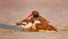 Beach Baby (kathybaca) Tags: world sunset baby ny bird love beach nature birds parents fly sand wildlife sandy salt feathers aves explore shore planet oystercatcher chicks oyster fledgling sweetlight