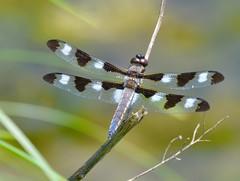 Twelve-spotted skimmer (ChipM2008) Tags: minnesota newbrighton twelvespottedskimmer