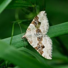 moth (marsupium photography) Tags: edinburgh scotland insect macro hermitage