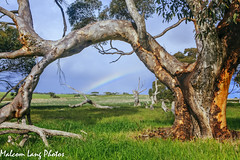 Sugar Gum Rainbow  ( Eucalyptus Cladocalyx ) (Malcom Lang) Tags: wood trees winter sky cloud colour grass leaves rain gum dead rainbow branch farm branches south australian australia farmland sugar southern bark crop frame eucalypt land stick eucalyptus aussie treeline southaustralia mal deadtrees southernaustralia paddocks sugargum cladocalyx coomunga southerneyrepeninsula malcomlang malcomlangphotos