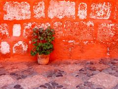Granium sur fond orange (M. Carpentier) Tags: flowers orange flower fleur contrast fleurs lumire contraste arequipa prou perou santacatalina granium graniums arquipa