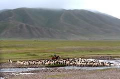 Sheep crossing river (MelindaChan ^..^) Tags: china horse river crossing sheep chinese mel prairie  melinda grassland rider xingjiang sheperd chanmelmel melindachan
