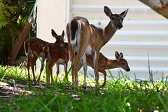 Key Deer Family (bmasdeu) Tags: deer family fawns keydeer nature wildlife florida thekeys nationalpark reserve babies doe herd