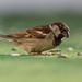 gorrión común (passer domesticus) 2