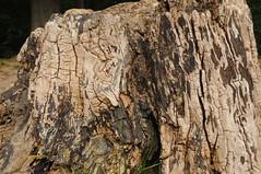 Verwitterter Baumstumpf; Usedom b (92) (Chironius) Tags: usedom mecklenburgvorpommern meklemburgiapomorze uznam deutschland germany allemagne alemania germania    ogie pomie niemcy pomienie holz wood legno madera bois hout