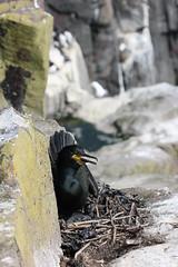 Shag's Nest! (RiverCrouchWalker) Tags: farneislands phalacrocoraxaristotelis shag bird nest chick innerfarne northumberland cliffface rocks june 2016 spring phalacrocoracidae nationaltrust