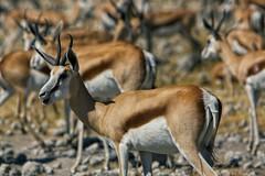 Antidorcas Marsupialis (alisdair jones) Tags: africa park animals antelope namibia etosha springbok ef70200mmf28lisusm2xiii