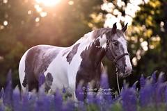 Tommy Z (Hestefotograf.com) Tags: summer horse white norway caballo cheval cavalo pferd stallion whitehorse equine equus paard purarazaespanola hestefotograf