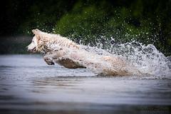 Asko (Maria Zielonka) Tags: doberman dobermann dog dogs hund hunde mariazielonkafotografie mischling outdoor photography puppies puppy schweizer schferhund schferhundmischling shepherd shooting swiss wei weier welpe welpen
