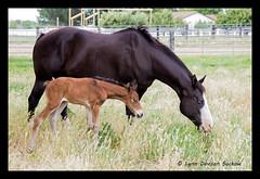 Learning to graze (walla2chick) Tags: horse baby washington mare wa colt wallawalla foal img2165 elangdonrd