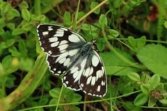 Melanargia galathea (Hugo von Schreck) Tags: macro butterfly insect falter makro insekt schmetterling schachbrett melanargiagalathea yourbestoftoday onlythebestofnature tamron28300mmf3563divcpzda010 canoneos5dsr hugovonschreck