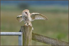 Barn Owl (image 1 of 3) (Full Moon Images) Tags: bird nature barn wildlife bcn reserve national owl trust prey fen cambridgeshire birdofprey woodwalton nne greatfen