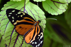 Butterfly 2015-20 (michaelramsdell1967) Tags: light orange black color detail macro green nature beautiful beauty animal animals closeup butterfly bug garden insect leaf spring nikon colorful natural vibrant butterflies vivid insects bugs upclose mariposa