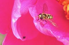 Hover Fly (simonpfotos) Tags: fly hoverfly zweefvlieg