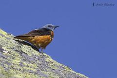 Roquero rojo (Monticola saxatilis) (jsnchezyage) Tags: naturaleza bird fauna birding ave monticolasaxatilis roquerorojo