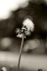 Acconciatura estiva (Claudio Taras) Tags: street shadow bw flower macro sepia monocromo bokeh monochrom fiori claudio biancoenero controluce trier taras streetshot contrasto