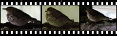 Scaly Thrush, Zoothera  dauma (asterisktom) Tags: taiwan february sequence hualien thrush 2016 scalythrush zootheradauma trip20152016cambodiataiwan