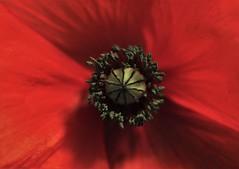 Mohn (heiko.moser) Tags: flowers flower color macro rot nature floral closeup canon flora natur natura blume makro blte flowerpower nahaufnahme mohn heikomoser