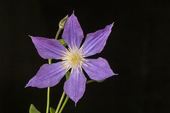 160702_001 (123_456) Tags: clematis