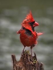 Cardinal Rouge   --- Northern Cardinal --- Cardinale (Jacques Sauv) Tags: bird rouge cardinal northern oiseau cardinale
