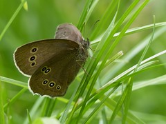 Ringlet (Female) (ukstormchaser (A.k.a The Bug Whisperer)) Tags: macro grass animal animals fly afternoon wildlife meadow butterflies july flies milton keynes ringlets ringlet