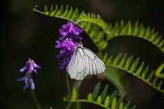 aporia (stefanorasicaldogno) Tags: monte farfalle aporia crataegi cengio