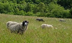 Sheep Meadows (RoystonVasey) Tags: canon sheep walk derbyshire powershot lamb hs ewe sx260