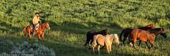 Cowboy Herding Horses at Sunrise (David C. McCormack) Tags: ranch horses cowboys rural cowboy riding rockymountains wyoming rider horseback saddle jacksonhole roundup grandtetonnationalpark duderanch
