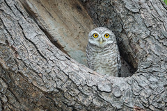 Spotted Owlet (BP Chua) Tags: wild tree bird nature thailand photography nikon asia wildlife camouflage owl spotted nonthaburi owlet