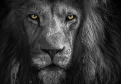 Lwe Piefke (ellen-ow) Tags: groskatzen katzenartige lwe piefke raubtiere sugetiere zoo tier lion colourkey nikond4 ellenow