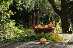 ckuchem-2067 (christine_kuchem) Tags: tisch korb deko dekoration apfelernte naturgarten herbstgarten