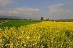 Champ de colza  Orpund (jd.echenard) Tags: yellow jaune explore gelb campagne colza seeland cantondeberne orpund paysagesuisse switzerlandlandscape schweizerlandschaft