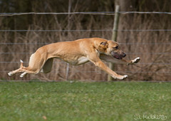 Lurcher Racing (slmiddleton) Tags: park dog dogs water fast fair run retriever dummy retrieve catton gamekeepers