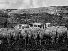 Bottoms up! (Fluffy*69) Tags: sheep farm bottom rear devon backside feed livestock dartmoor fluffy69