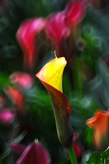 Calla Lily  (Melinda ^..^) Tags: plant flower color leaves leaf colorful bokeh mel melinda macau callalily  reflexlens flowerexhibition 50mmf35  chanmelmel