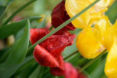 Green red yellow 68591 (tombomba2) Tags: flowers red plants macro green rot colors yellow nikon tulips blossom pflanzen blumen gelb cameras micro bloom fullresolution grn nikkor makro f28 vr farben lenses tulpen d800 blten 105mm blhen kameras objektive 10528g