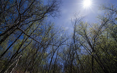 Spring (HofmanPhotos) Tags: trees sky sun lookingup budding greenbuds