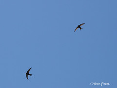Swifts E5131383revS (Preselector) Tags: swift apusapus rspbmiddletonlakesolympuse3