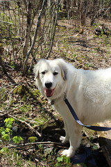 leash walk (ekpatterson) Tags: dog may sadie greatpyrenees 2013
