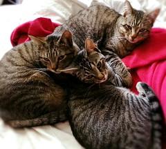 137, Morning kitties. (Gemma Geluz - http://gemmageluz.etsy.com) Tags: morning cats kitty kitties graytabby pileup flickrandroidapp:filter=none galaxys3 picsplaypro 365project2013