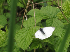 Small White (Pieris rapae) (duckinwales) Tags: white green butterfly lepidoptera rhyl glade bramble pierisrapae cabbagewhite smallwhite brickfieldpond