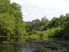 oxbow lake (Just Back) Tags: trees plants lake green pine forest river still pond quiet floating acer swamp ash botany elm biology shrubs dorchester channel mats wetland edisto fraxinus submersed planera cupress