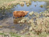 Cow (petrusko.rm) Tags: hairy cow olympus tg1